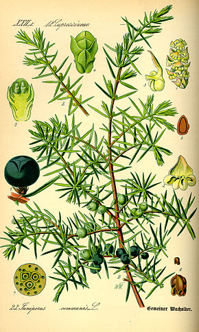 290px illustration juniperus communis0