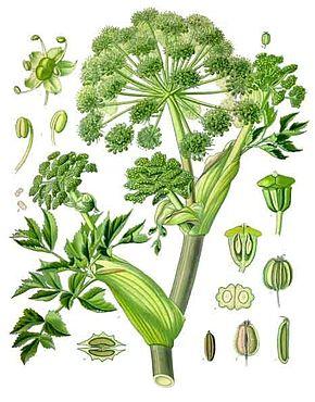 Angelica archangelica ko hler s medizinal pflanzen 158