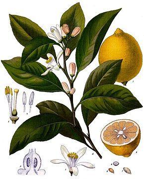 Citrus x limon ko hler s medizinal pflanzen 041